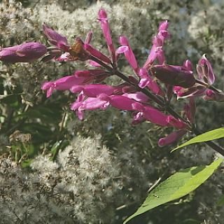 small_salvia-involucrata-bethellii from Kevn Hughes plants near Salisbury