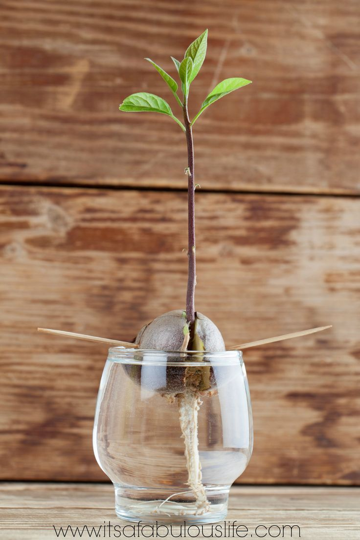 How To Replant Your Avocado Pit --  SO Easy!  Makes for a great plant! (PS The kids LOVE to do watch it grow!)
