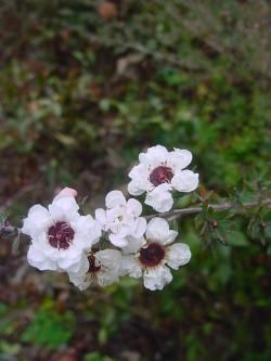 Leptospermum scoparium 'Snowflake' Tea tree Myrtaceae (Myrtle family) New Zealand and Tasmania
