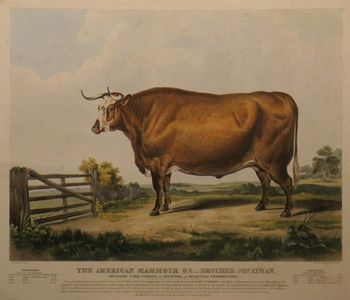 The American Mammoth Ox, - Brother Jonathan. | Sanders of Oxford