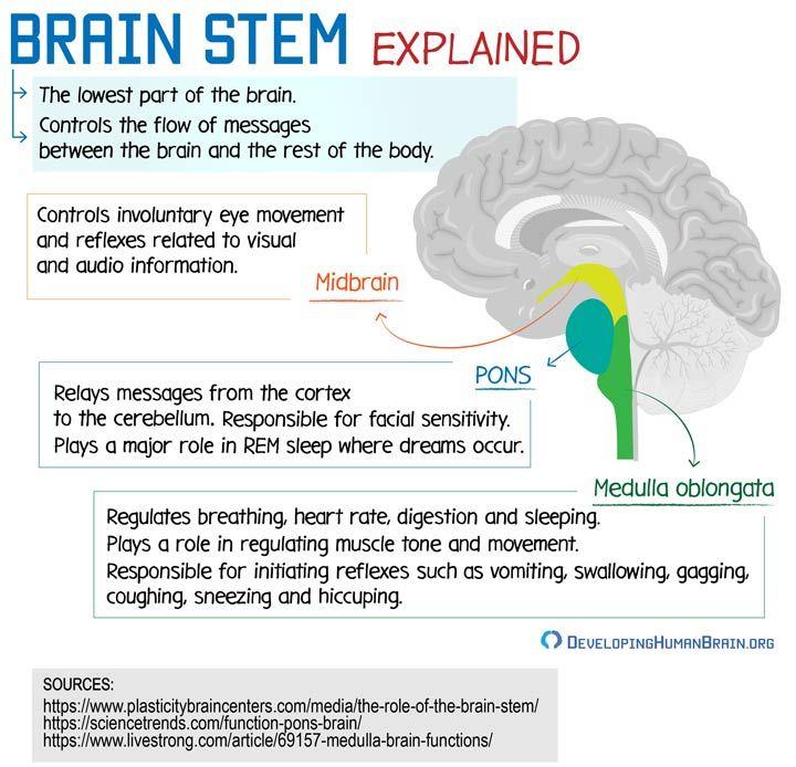 brainstem anatomy | Brain anatomy and function, Human ...