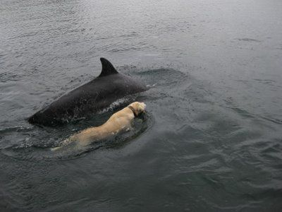Labrador Retriever is best friends with a dolphin (VIDEO) » DogHeirs   Where Dogs Are Family « Keywords: dolphin, Labrador Retriever, Tory Island, Ireland