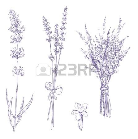 how to draw a lavender plant