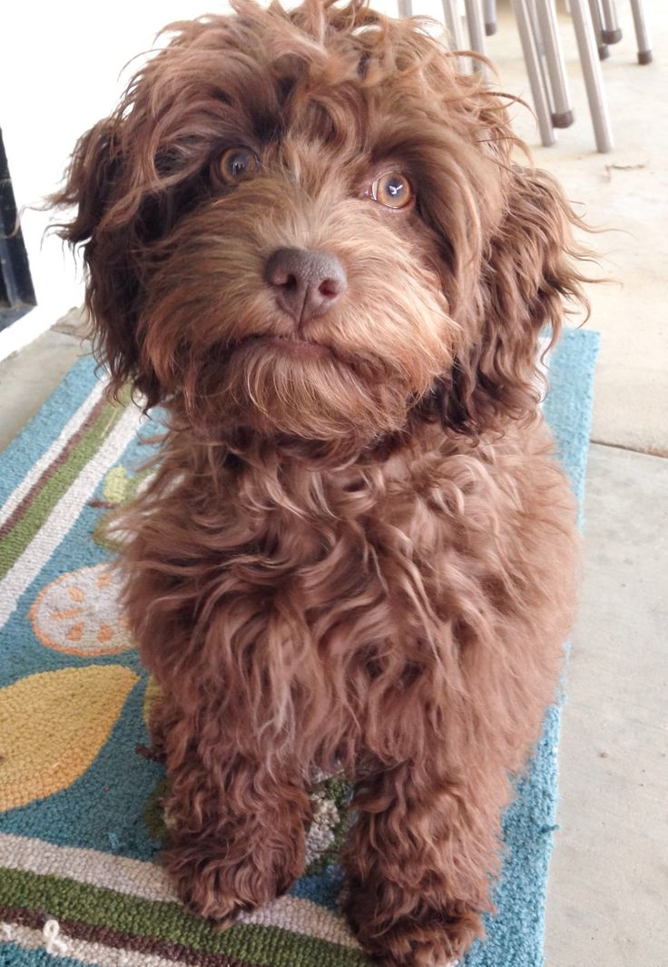 Chocolate Brown Cockapoo and he's all mine!