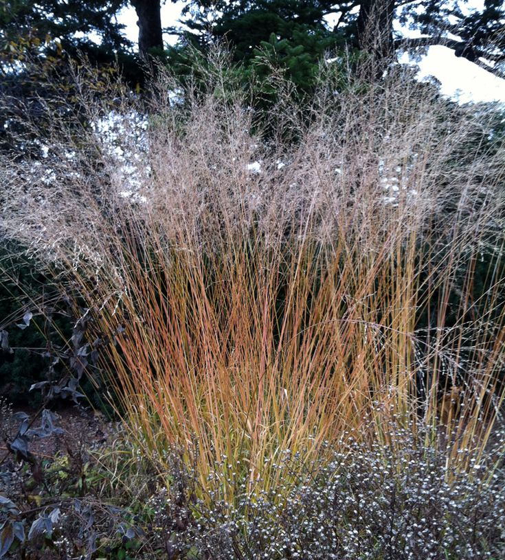 192 best images about horticulture grasses for zones 2 3 for Ornamental prairie grass