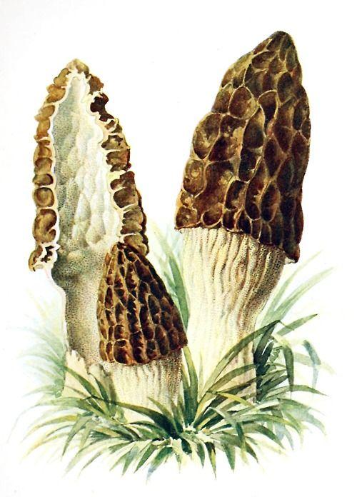 Black morel (Morchella elata)  Albin Schmalfuss, from Führer für Pilzfreunde (The mushroom lover's guidebook) vol. 2, by Edmund Michael, Zwickau, 1901.