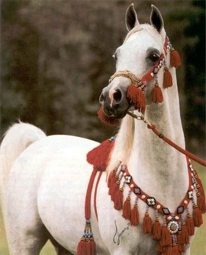 A beautiful Arab horse