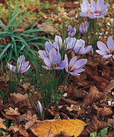 Love this Fall Blooming Saffron Crocus Bulb - Set of 16 by Michigan Bulb Company on #zulily! #zulilyfinds