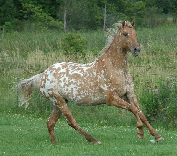 This mare has been tested as black and dun genes, so it's spotted grulla. It just doesn't look like a grulla at all! More photos are available: http://www.designsporthorse.com/Ava%20More%20Photos.htm As a foal, it looked like a grulla but I have never earlier seen a horse that changes its color from grulla to... well, seemingly chestnut, only the darker color in hindlegs gives some indication this isn't an ordinary chestnut.