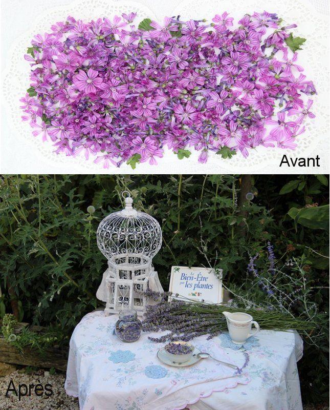 Faire une infusion de fleurs de mauves + un peu de lavande.