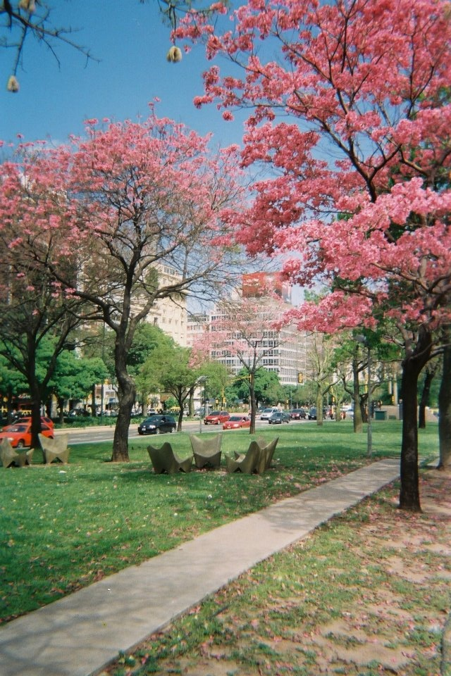 Blooming lapacho trees signify the arrival of spring in Buenos Aires, Argentina.
