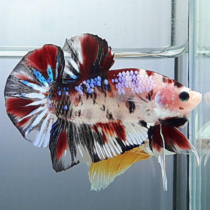 1345 best koi bettas images on pinterest betta betta for Fancy koi fish