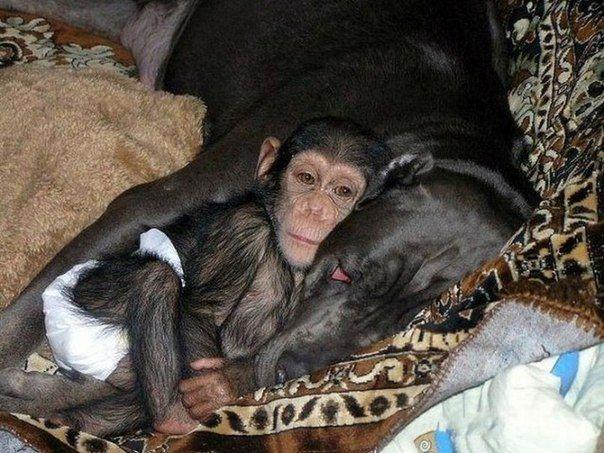 Когда в зоопарке умерла шимпанзе, недавно родившая малыша, сотруднику пришлось взять шимпанзенка домой для выкармливания. И тут случилось чудо - о маленькой обезьянке стала заботиться собака, как раз в это время выкармливающая щенков.