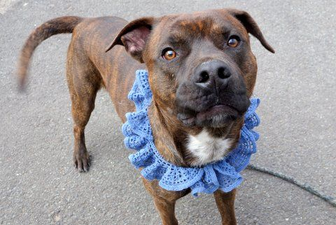 """KYLE - A1108811 - - Manhattan  TO BE DESTROYED 04/25/17 A volunteer writes: The Urban Dictionary defines Kyle as """"the most amazing person you'll ever meet"""". Well, OK. Let me introduce you to our Kyle. You know the type, he's perfectly groomed, his coat shines with good care, his nails are trimmed, his leash manners are lovely, he seems to be housetrained, he takes treats gently, and he wags his tail at dogs we pass in the park. Kyle is also a #1 squi"""