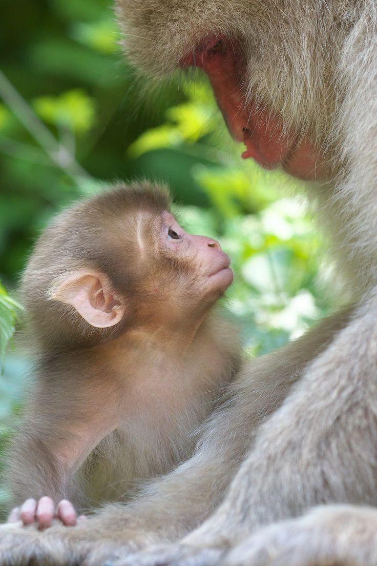 Monos de la nieve. Relación de confianza mutua con la madre y el bebé. Japón.