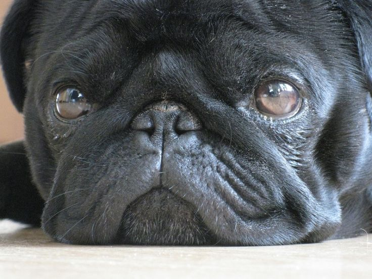 Questions A Pug Breeder Should Answer or not all Pug breeders are good Pug breeders