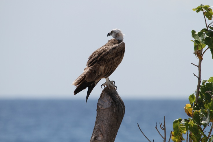 The osprey is a majestic bird of prey found throughout the world – almost everywhere there is water and an adequate food supply, these fish eagles may be found, so-called because they feed almost exclusively on fish. #hatchetcaye #belize #ospreys