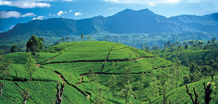Great Western range, tea fields.  Oh how i want to go home!!!!!!!!!!!!!!!!!!!!!!!!!!!!!!!!!!!!!!!!!!!!!!!