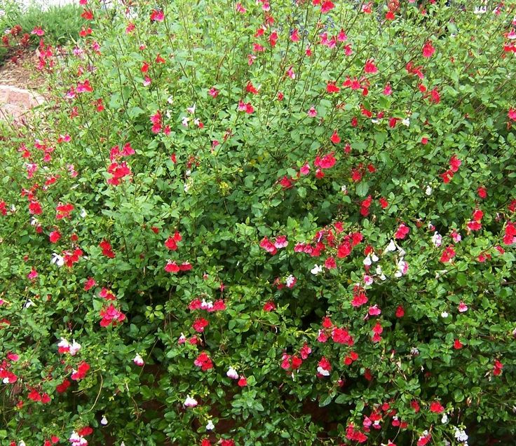 Salvia | ... Minute Gardener: Photo - Hot Lips Sage (Salvia microphylla 'Hot Lips