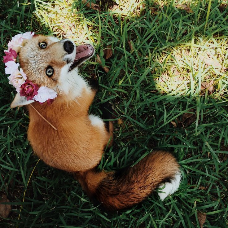 forestsandfoxes: sundancethefox: Little flower Oh my gosh