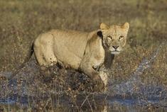 Okavango Delta - Botswana - Lioness
