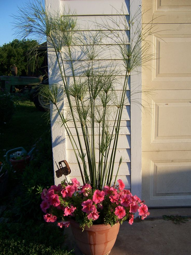 7 best images about king tut grass on pinterest cyperus for King garden designs
