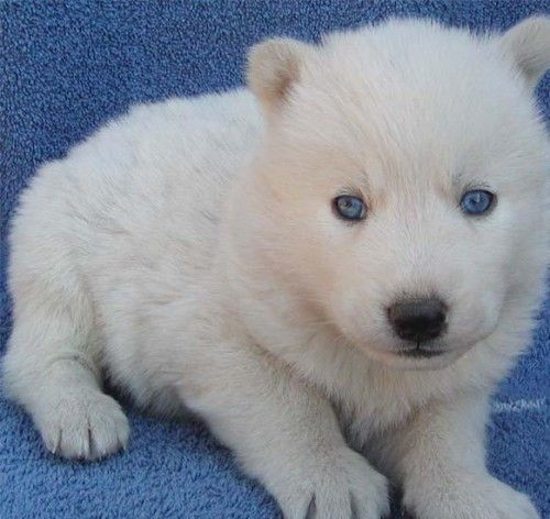 tea cup puppies | white siberian husky puppies for sale
