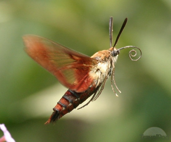 The hummingbird moth - at first glance I have mistaken one for a hummingbird in my garden.