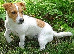 Jack Russel Top 10 des races de chien de petite taille