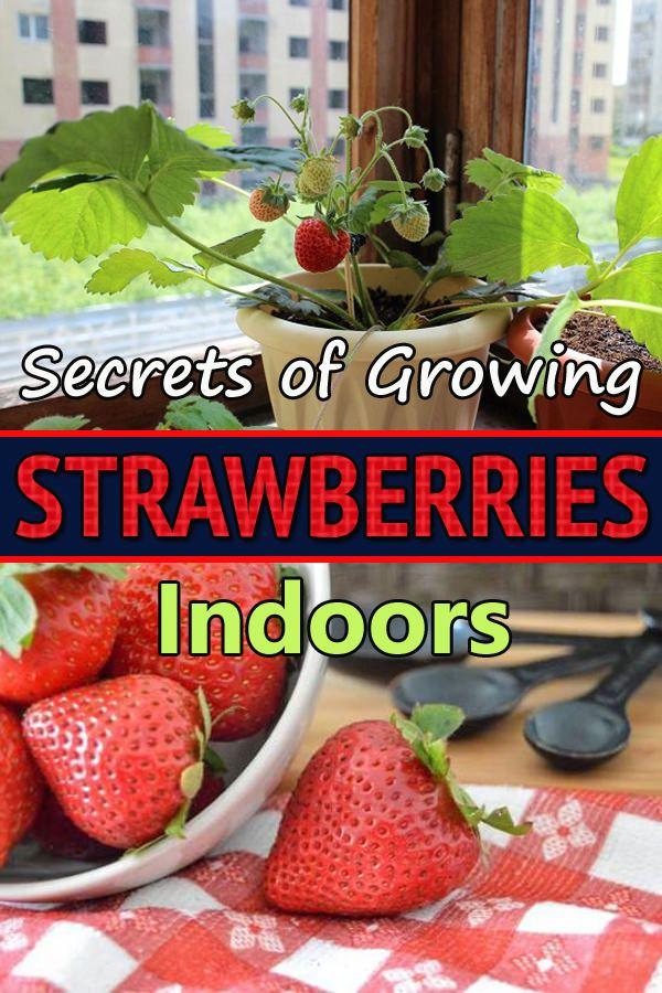 Secrets Of Growing Strawberries Indoors Year Round Growing Food Indoors Growing Strawberries Indoors Growing Vegetables Indoors