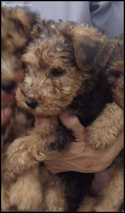 Lakeland Terrier Pictures (2fdm42jg5sz)