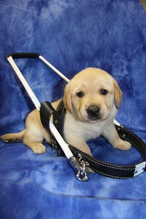 The 100 Most Important Puppy Photos Of All Time – 57. The Littlest Dude; HE DOESN'T FIT INTO HIS HARNESS YET AND IT'S ADORABLE. http://www.pindoggy.com/pin/the-100-most-important-puppy-photos-of-all-time-57-the-littlest-dude-he-doesnt-fit-into-his-harness-yet-and-its-adorable/