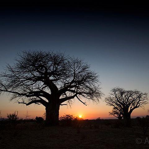 Chitake Springs, Mana Pools.  #Baobab #manapools #chitakesprings