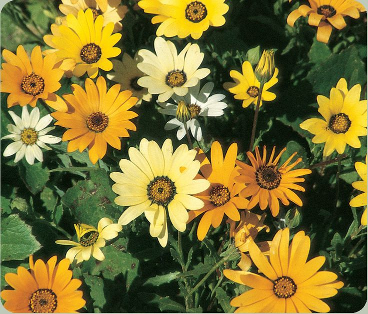 African Daisy: Gardens Seeds, Flowers Gardens, Africans Daisies, 1000 Open, Aster Africans, Daisies Yellow, Wildflowers Aster, David Gardens, 500 Seeds