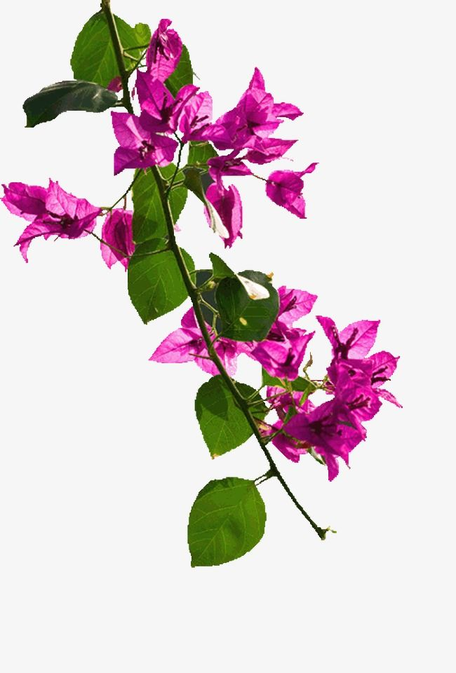 Bougainvillea Flowers Flowers Green Leaves Png Transparent Clipart Image And Psd File For Free Download Bougainvillea Backgrounds Phone Wallpapers Photo Art