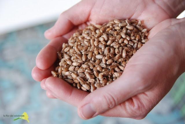 Cómo hacer bulgur y harina malteada a partir de trigo germinado {Germinados y brotes con Ventanas Verdes}