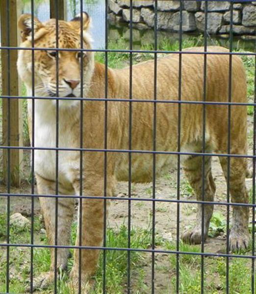 Liger at Missouri Animal Sanctuary.