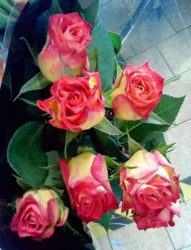 letošní dvoubarevné růže (80 pieces)
