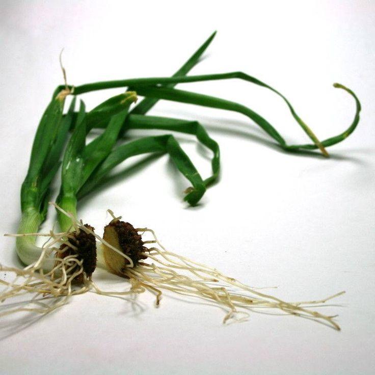cipolle coltivare