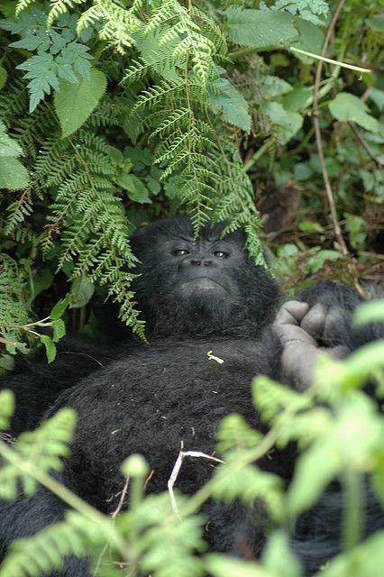 Mountain Gorilla - Volcanoes NP, Rwanda