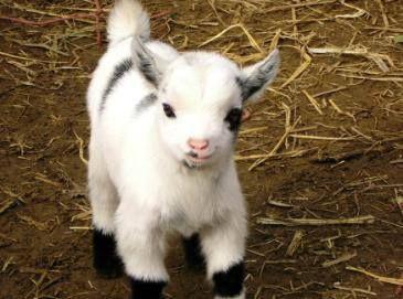 Baby Goat. I want him! :)