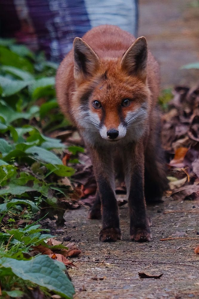 Red Fox by Mick Hallam on 500px