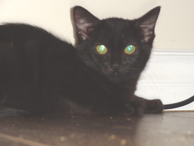 This tiny little kitty is 4 mth old Byte.  She is very small compared with her brothers and quite shy.  She needs someone that will take the time to give her the love and attention she needs to come out of her shell.  Byte would love to be adopted with one of her brothers Milo or Enzo for support.  www.orphankittenrescue.com