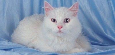 gato angora blanco