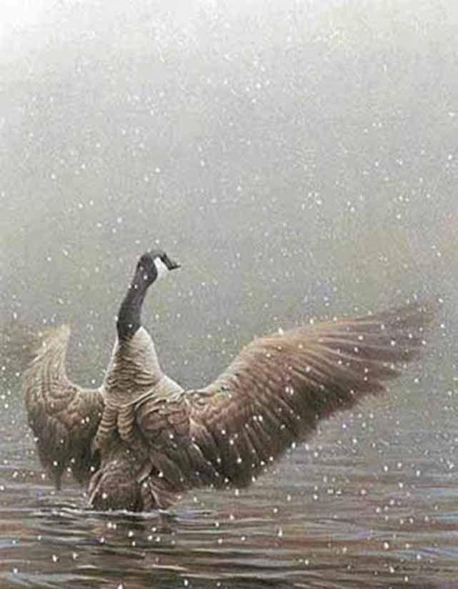 Robert Bateman Stretching Canada Goose