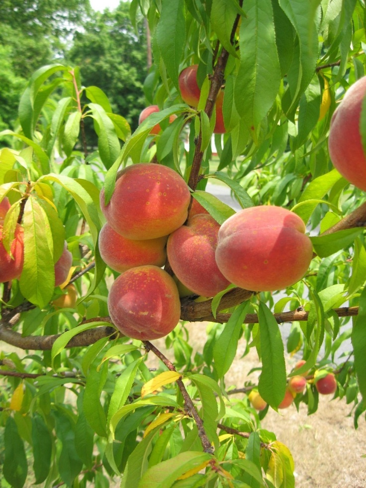 31 best images about fruit trees i grow on pinterest the for The peach tree