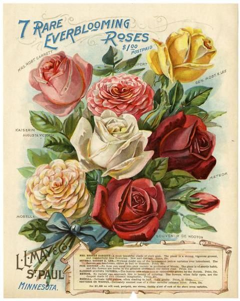 This beautiful, if rare, color plate from just inside the cover of the 1899 L.L. May catalog features a collection of everblooming roses. For a mere $1, one could have a Mosella, Kaiserin Augusta Victoria, Mrs. Robt. Garret, Pink Soupert, Gen. Robt. E. Lee, Meteor, and Souvenir de Wooton bushes. Copies of many catalogs from L.L. May & Co., a renowned grower of hardy northern seeds, are located in the University of MN Andersen Horticultural Library.