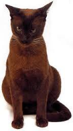 siyam kedileri - Google'da Ara