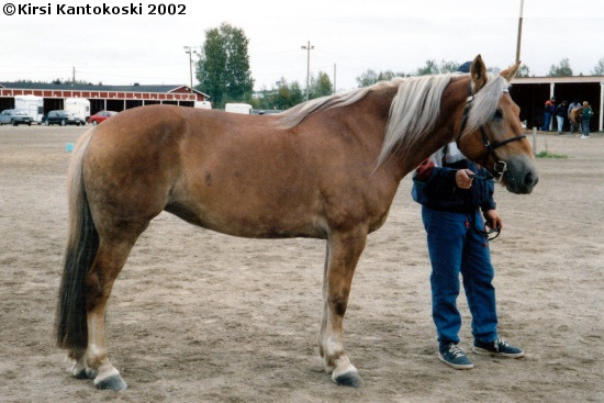 Finnhorse mare Vekselin Viri. Finnhorse is the only indigenous horse breed in Finland. It has done everything in Finland: it has been a draft horse for agriculture and forestry, it has worked in war and now it is the fastest coldblood trotter breed and a nice riding and driving horse. Chestnut with flaxen mane and tail is the traditional color, blacks, bays, palominos, roans, silvers and grays are quite rare.