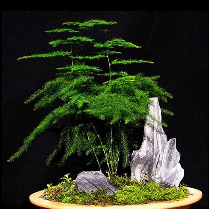 6 X Setose Asparagus Seed 6 Seed Asparagus Setaceus Asparagus Fern Foliage Seed | eBay